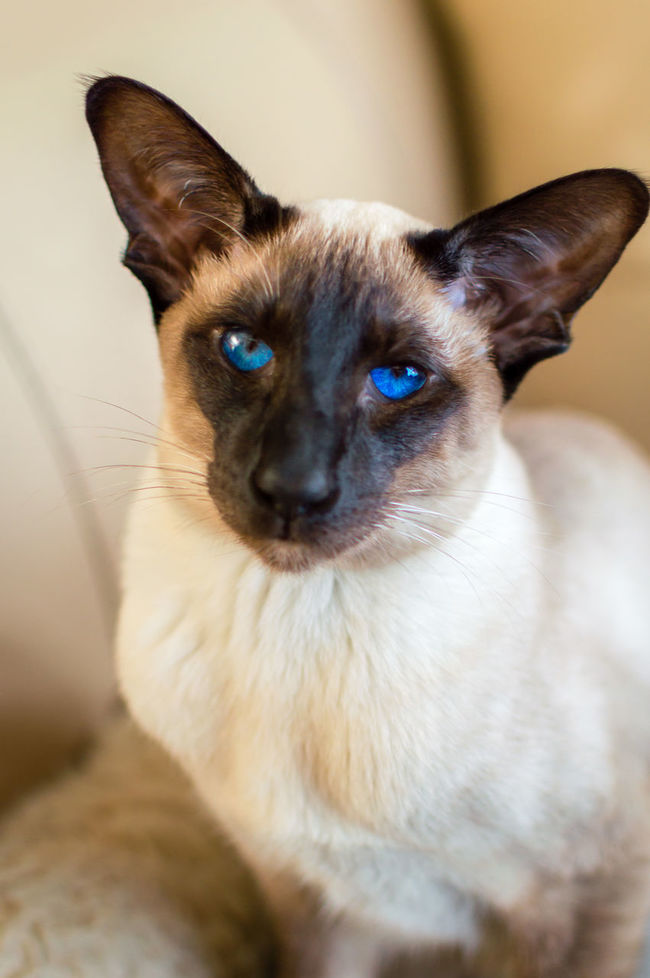 Animal Head  Animal Themes Cat Curiosity Domestic Animals Domestic Cat Feline Home Indoors  Kitten Looking At Camera Looks Like Hitler Mammal One Animal Pets Portrait Seal Point Siamese Cat Sitting Whisker