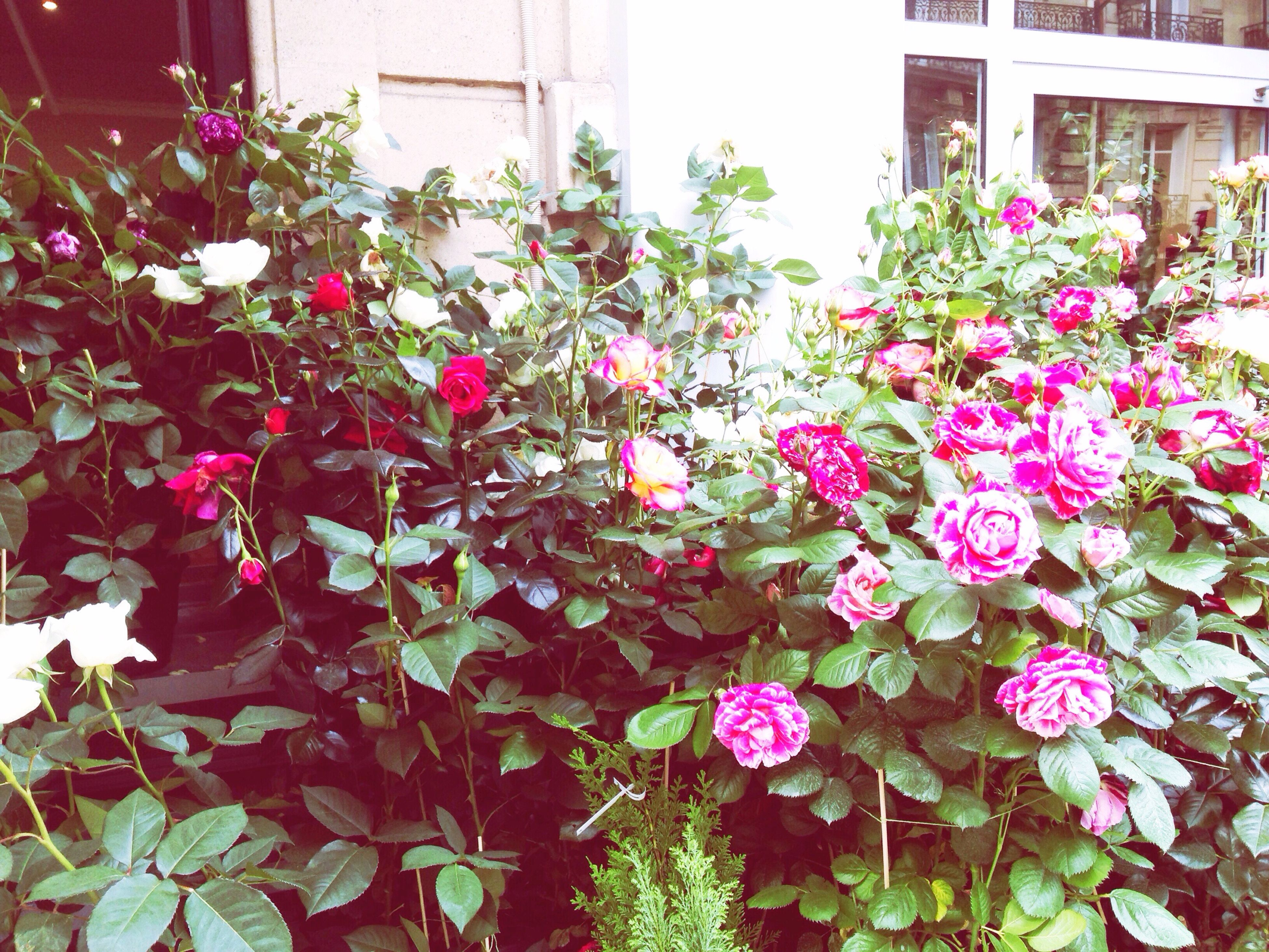 flower, freshness, fragility, growth, petal, plant, beauty in nature, blooming, nature, leaf, pink color, flower head, in bloom, blossom, building exterior, potted plant, springtime, built structure, day, botany
