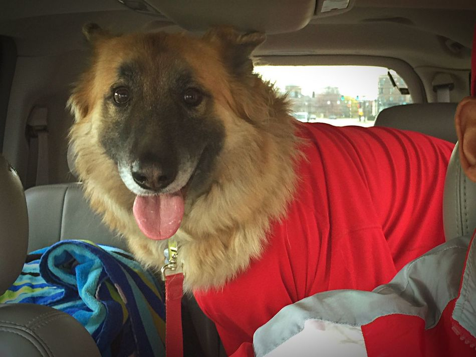 We're running errands before Ohio State vs ichigan. Vehicle Interior Transportation Sitting Looking At Camera Pets Dog Domestic Animals One Animal Vehicle Seat Indoors  Mammal Close-up Portrait One Person Day Animal Themes Adults Only Adult People Rocky GSD Buckeyes Kent Ohio