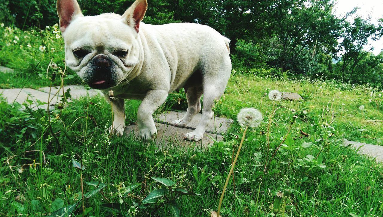 Frenchbulldog Dog Grass Playing With The Animals Dog Love Nature Urbanexploration Pets Corner