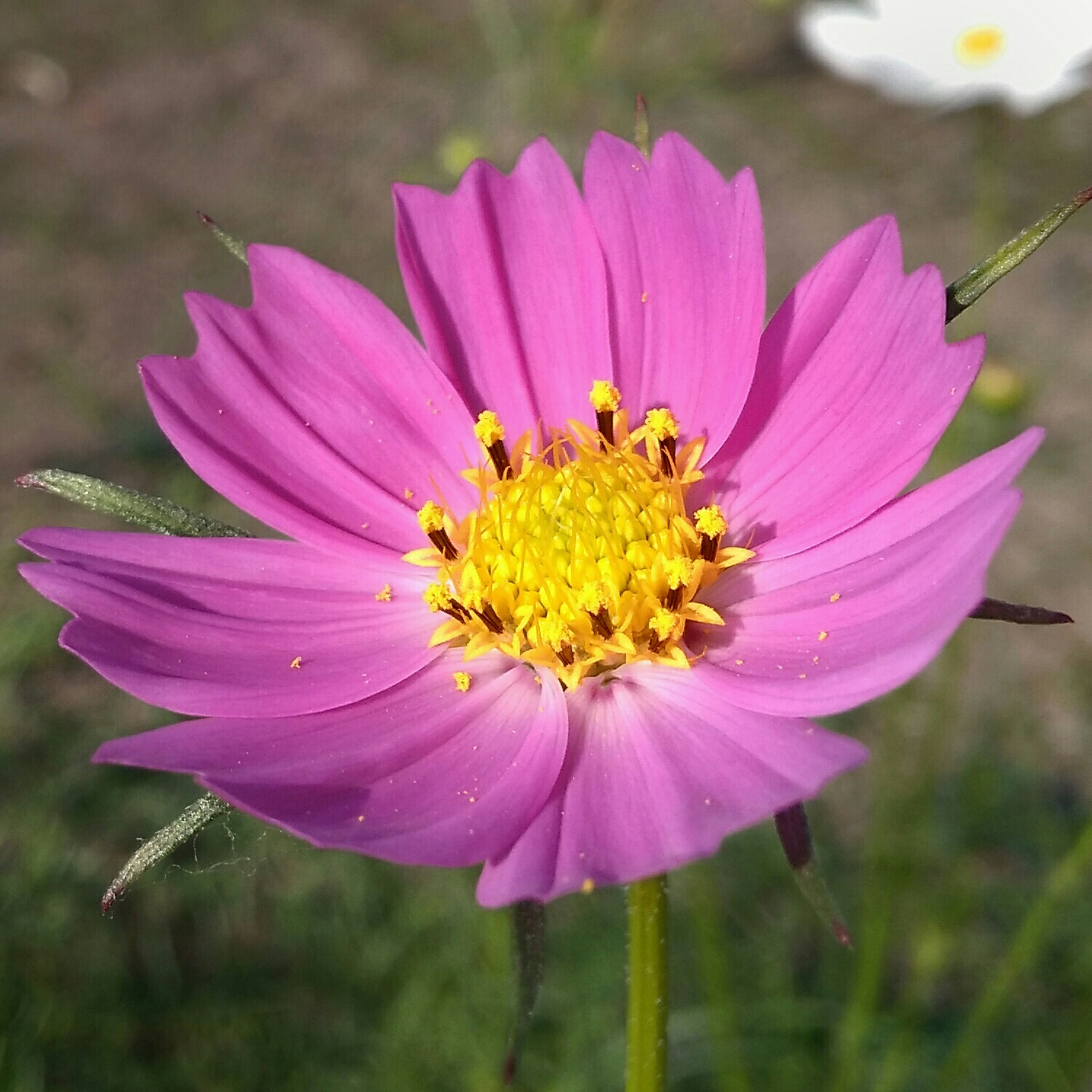 flower, petal, freshness, flower head, fragility, pink color, animal themes, one animal, single flower, animals in the wild, insect, close-up, beauty in nature, focus on foreground, wildlife, growth, pollen, nature, purple, blooming