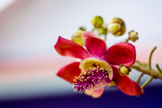 Beautiful Nature Beauty In Nature Blooming Blossom Bud Cannonball Tree Close-up Couroupita Guianensis Flower Flower Head Flowerporn Focus On Foreground Fragility Freshness Growth In Bloom Multi Colored Nature No People Petal Pink Color Pollen Red Selective Focus Stamen