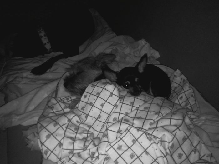 Goodnight Chihuahua Yorkshire Terrier Yorkshires