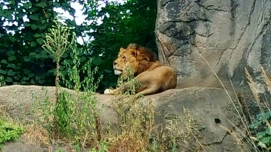 King Of The Jungle Animals In The Wild Lion Big Cat Zoo Animals  Cat Family Relaxing Habitat Top Of The Food Chain CIRCLE Of LIFE Roar Purrr Playful Kitty Feline Beautiful Wildlife Kitty Boulder Rock