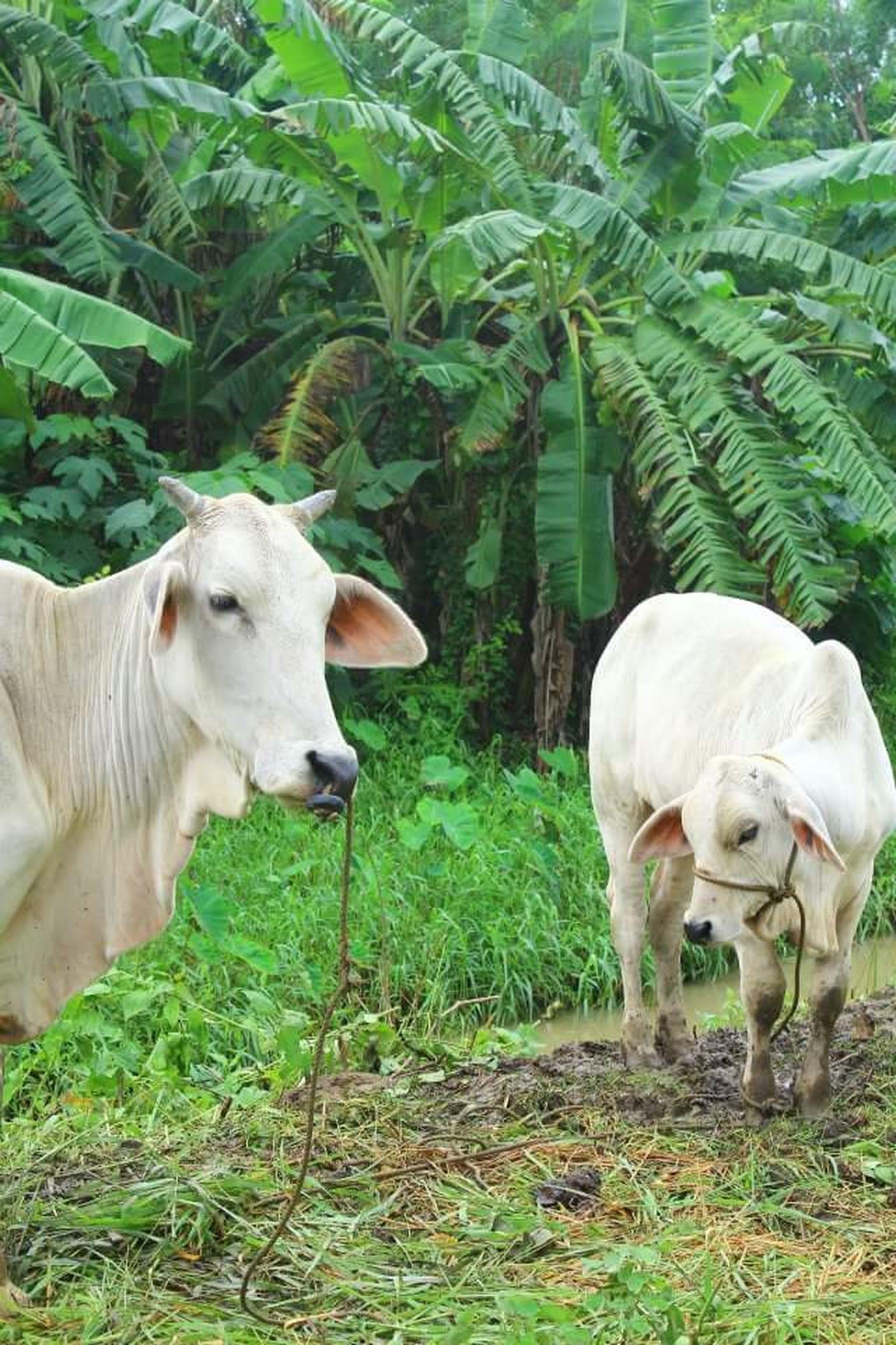 mooo Domestic Animals Nature Bovine Cows In A Field