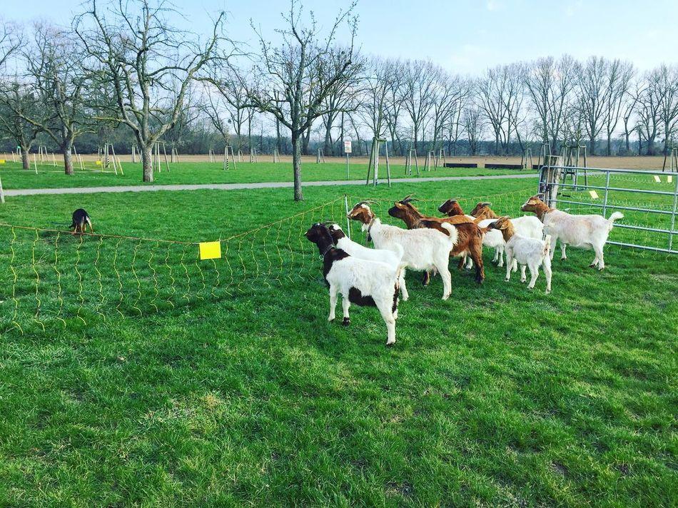daring a dog Sheep Farm Animals Latespring Outdoors Daily Riverside Weekend Nice Day
