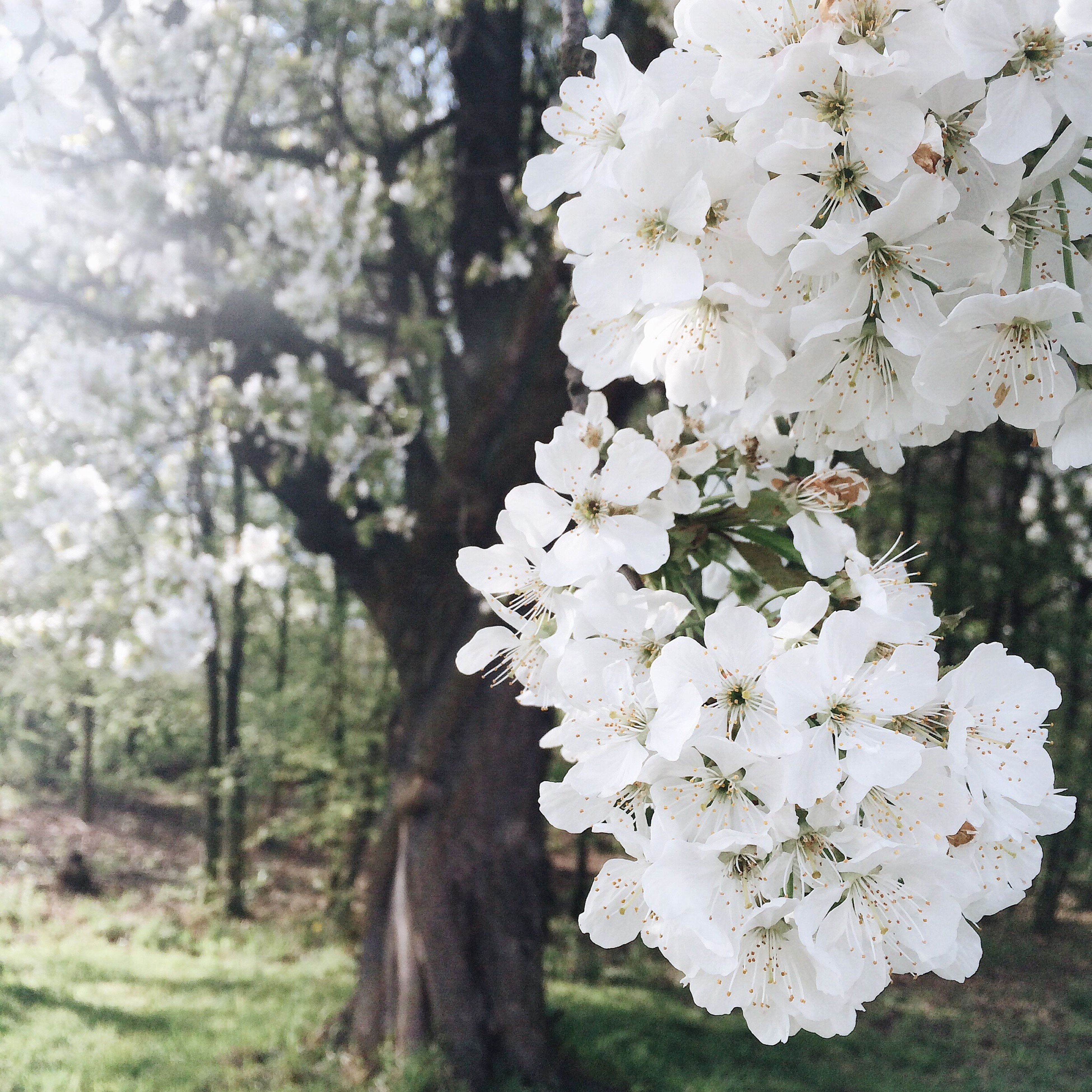 flower, tree, white color, freshness, growth, fragility, branch, beauty in nature, cherry blossom, nature, blossom, cherry tree, focus on foreground, petal, in bloom, springtime, apple tree, blooming, close-up, white
