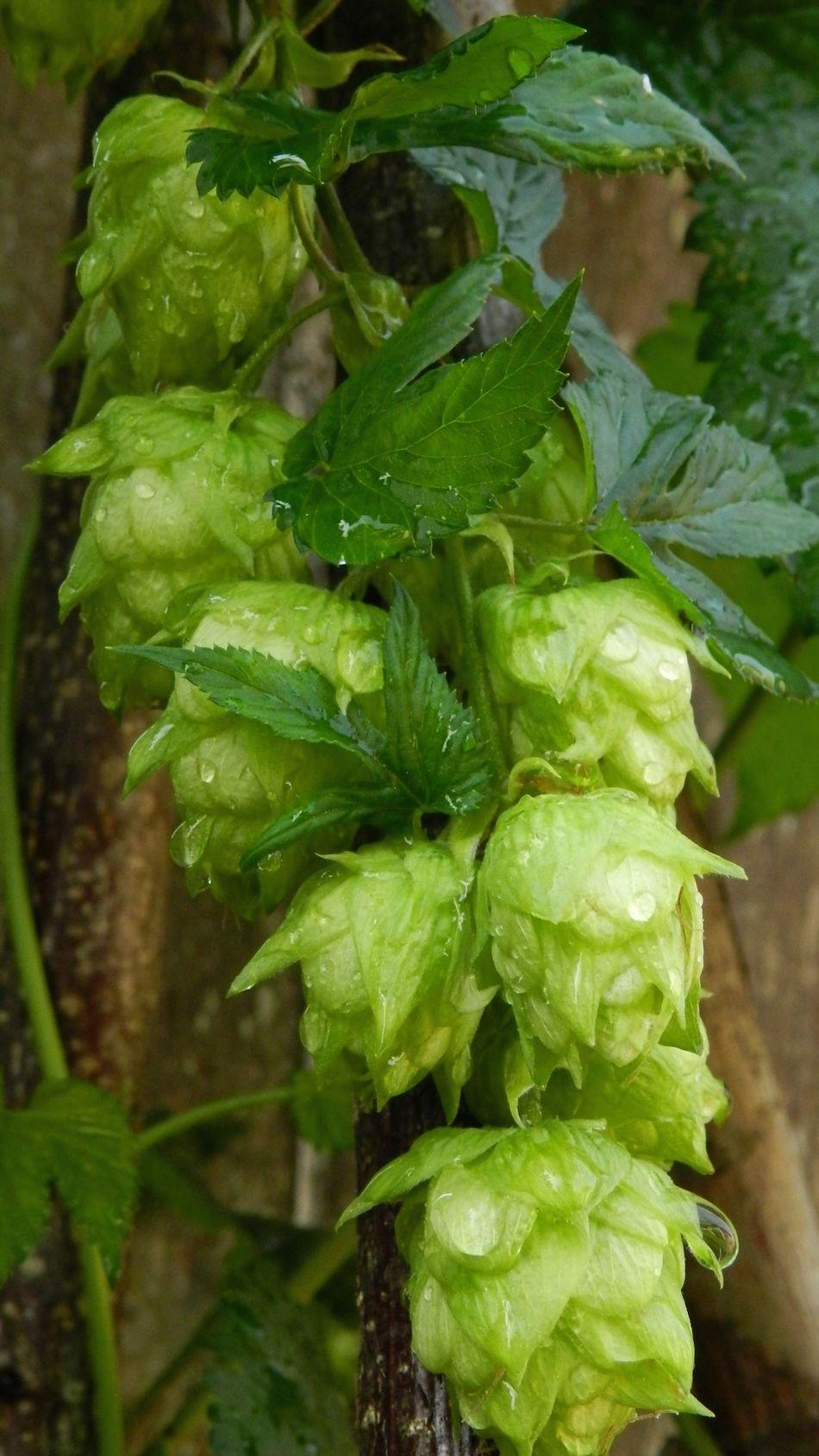 Hops N Grain Hops Vines Green Leaves Beer