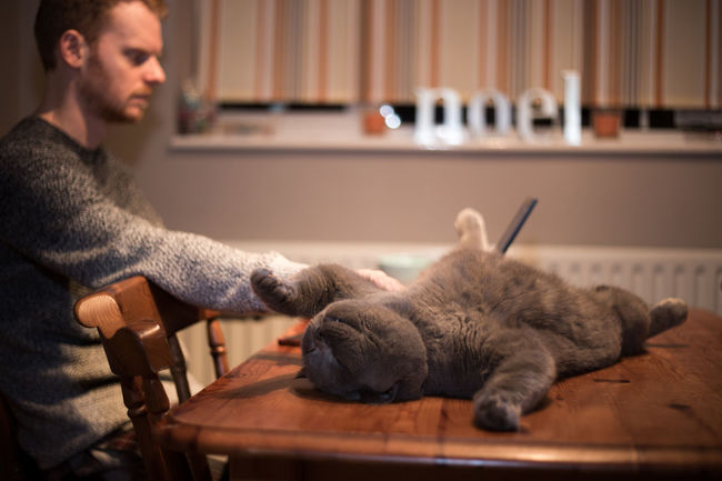 British Blue British Shorthair Cat Cats Freelance Life Happiness Home Laptop Meatball The Cat Pets Work Working Animals