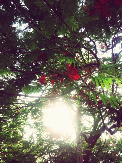 Tree Growth Branch Nature Day No People Beauty In Nature Low Angle View Outdoors Green Color Forest Tranquility Freshness Flowers Red Color Sunlight Through Trees Sunlight Playing Hide N Seek EyeEmNewHere The Great Outdoors - 2017 EyeEm Awards
