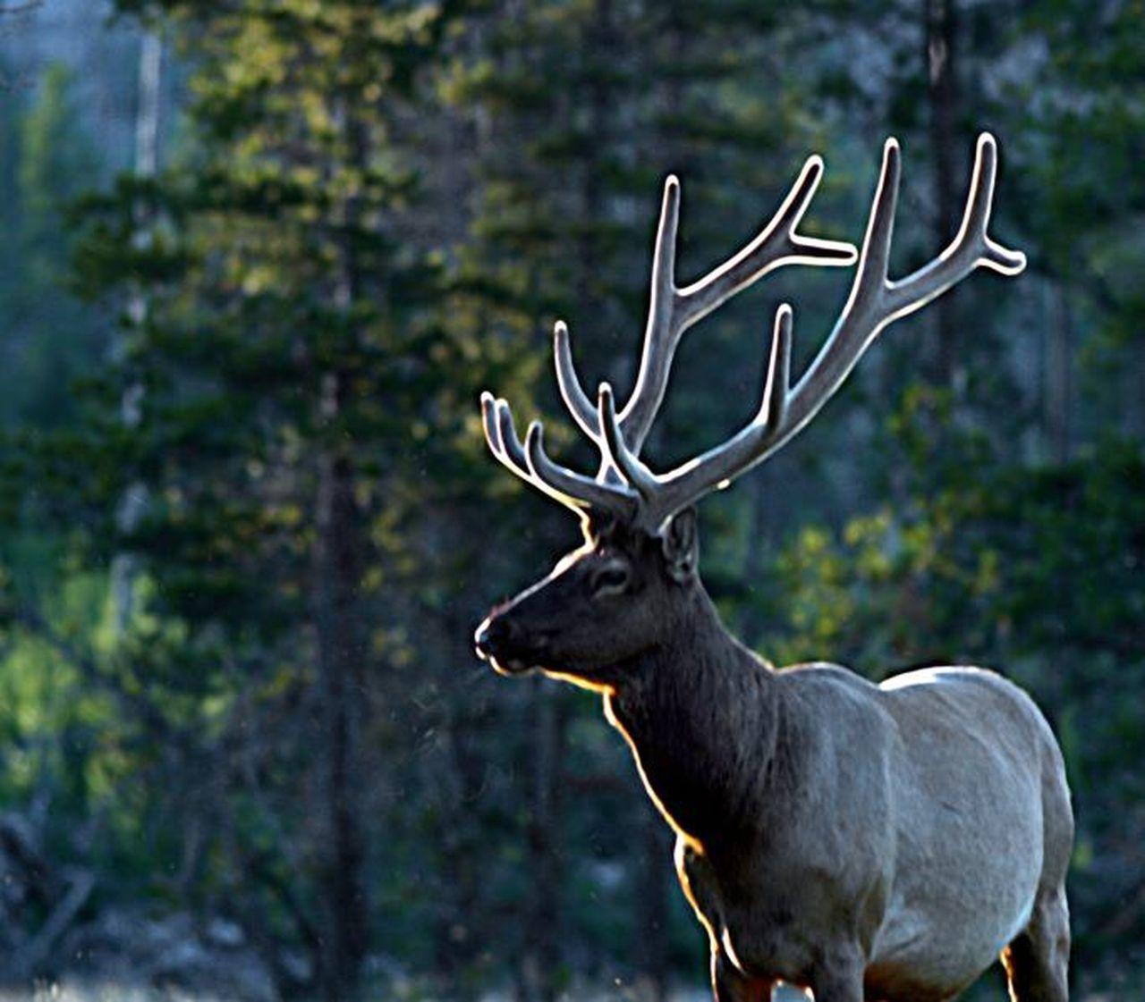 Elk Antlers Yellowstone Wildlife