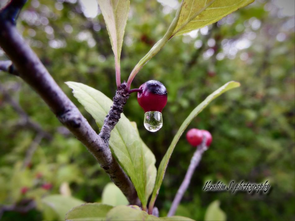Water Drop Red Berry Depth Of Field Ibrahim S Photography