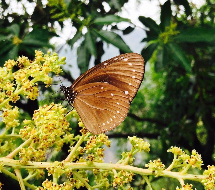 紫斑蝶 茂林