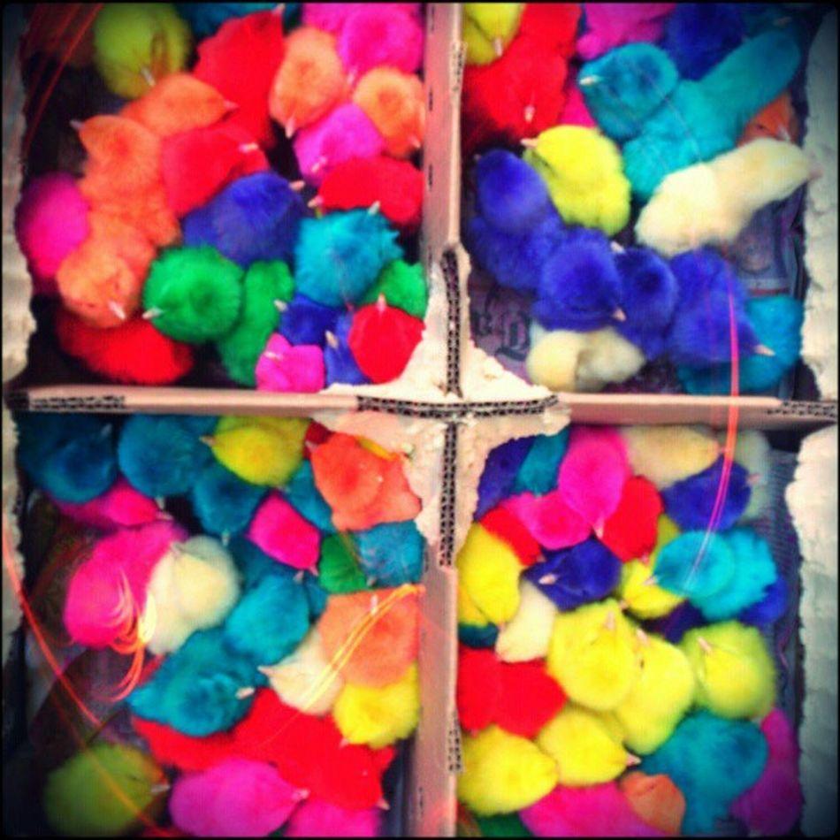 Pinto-rescos! Pollitos Littlechicken Coloridos Colorful Pintados Painted Alterednature Market