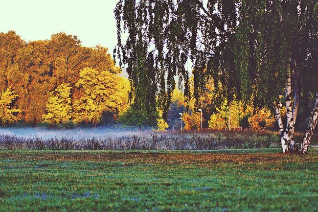 Tree Nature Tranquility Outdoors Beauty In Nature Sky Growth Sunrise Foggy Morning Fog Bright Colors Early Morning Nature_perfection NatureIsBeautiful Yellow Trees Autumn Autumn Colors Autumn Leaves Hobbyphotography