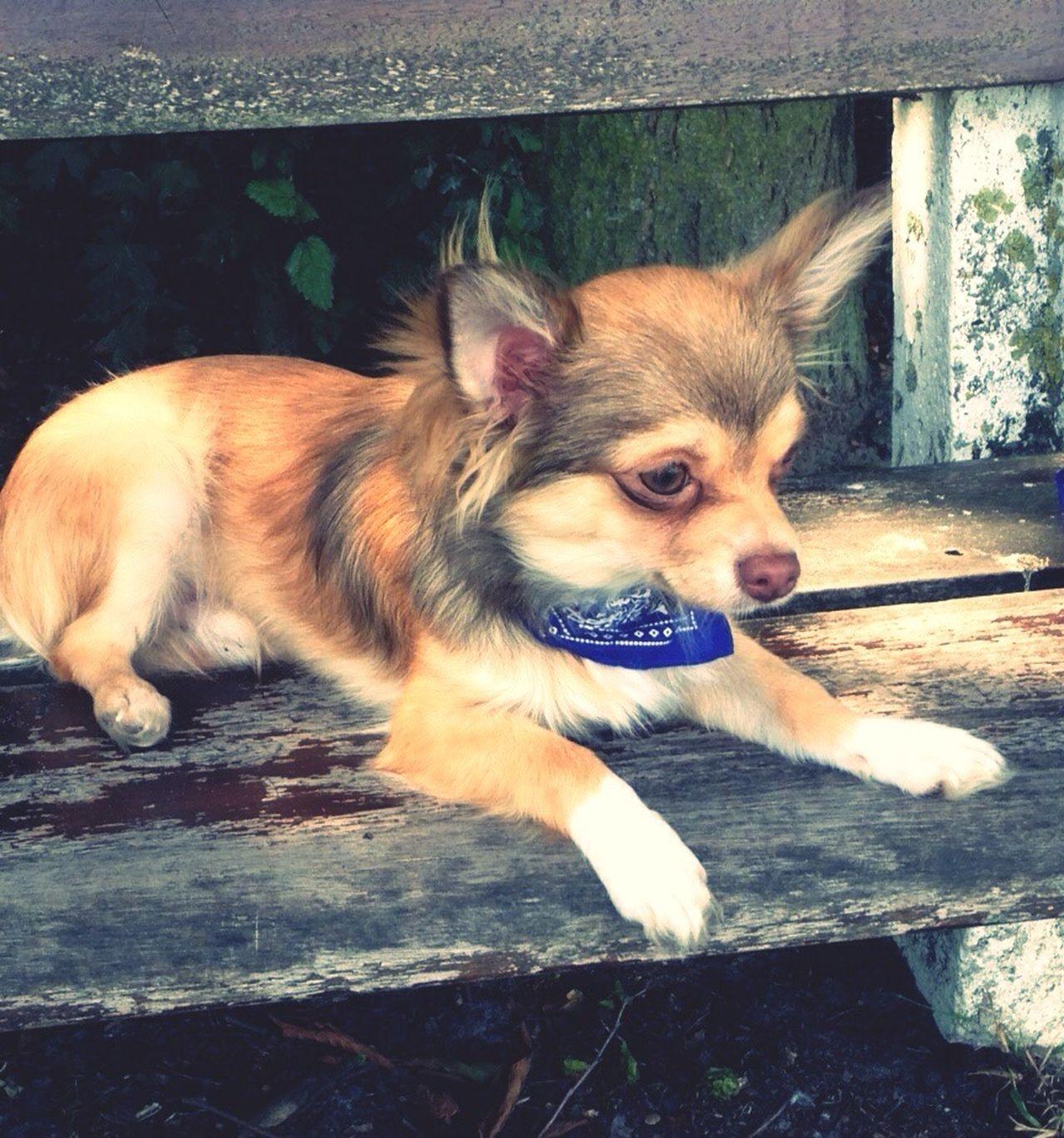 Gorki .... Puppydog Puppy Eyes Puppy Face Puppy Love ❤ PuppyLove Pets Corner Dogs Puppies Doglover Pets Pups Puppy Love Animals Puppy❤ Puppyeyes Dogslife Hi! Puppy Chiuahua Chiuaua