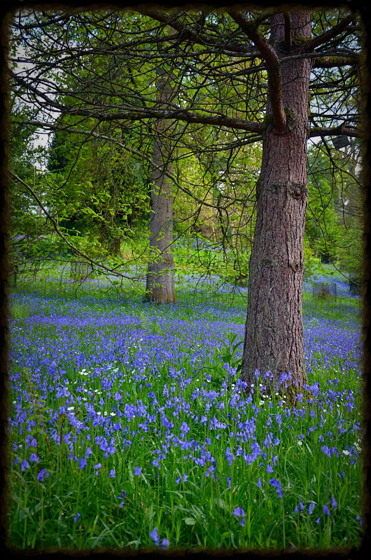 Beauty In Nature Bluebell Bluebell Wood Bluebells Bluebells, Spring, Springtim Flower Flowers Flowers, Nature And Beauty Flowers,Plants & Garden Nature No People Plant Tranquil Scene Tranquility Tree Tree Trunk