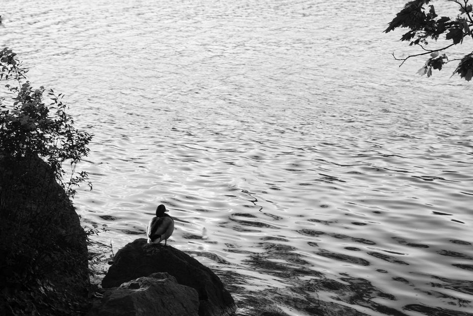 Animal Themes Bird Birds Black Black And White Blackandwhite Duck Lake Landscape Lonlyness Reflection Shadows & Lights Silhouette Symbolism Water