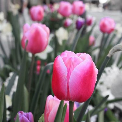Beautiful tulips along the street