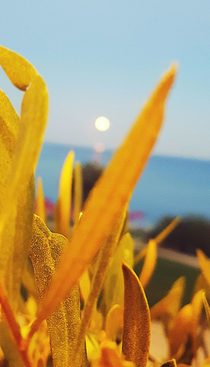 nature, beauty in nature, close-up, plant, yellow, growth, no people, outdoors, flower, sky, day, freshness