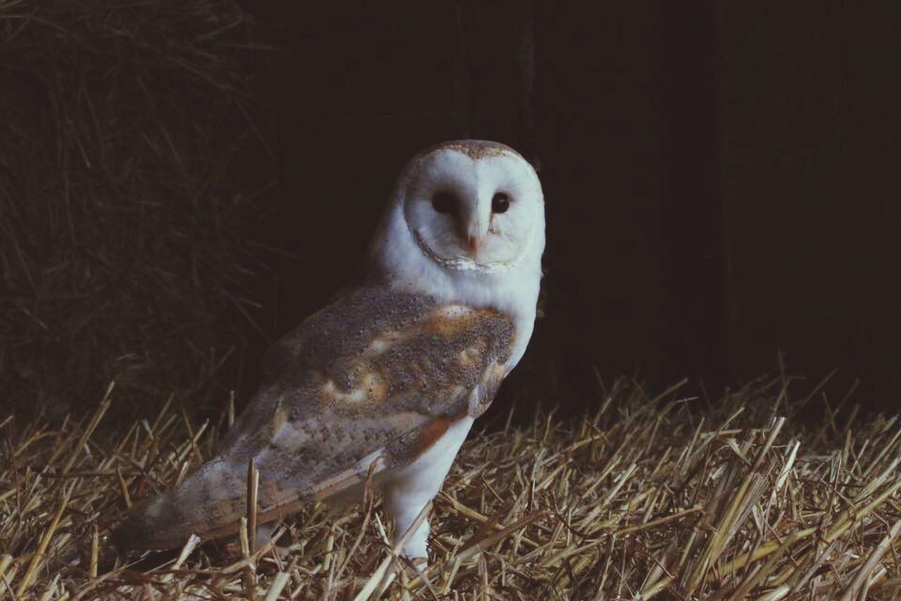 Outdoors Nature Owl Eyes Wildlife Owl Birdsofprey Photography Canon