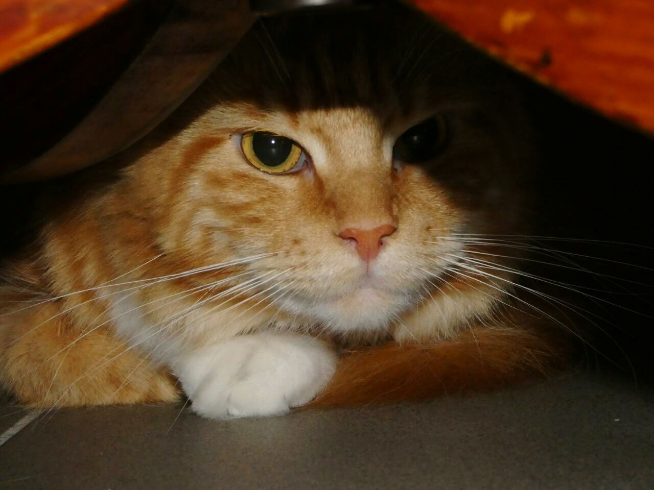 Feline Whisker Indoors  Animal Themes Domestic Cat Pets Domestic Animals Hobby Photography Katze Maine Coon Maine Coon Cat Mainecoonlovers EyeEmNewHere Hide