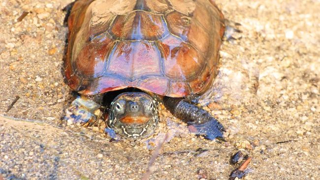 A turtle in the lake with his head out A TURTLE, Being An Amphibious Reptile Amphibious Reptile Animal Animal Themes Animals In The Wild Brown Close-up Day Full Frame No People One Animal Reptile Sand Shell Turtle Water Wildlife