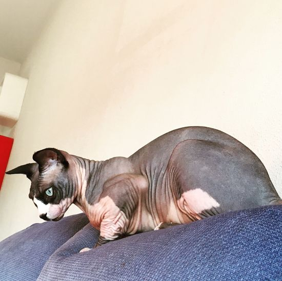 Pets Catsofinstagram Cats Of EyeEm Cats 🐱 My Cat Sphinx One Animal Animal Themes Domestic Animals Relaxation Sphynx Cat