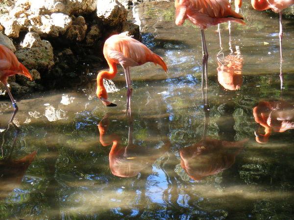 Flamingos Pink Sun Shining Water Glisten River Birds