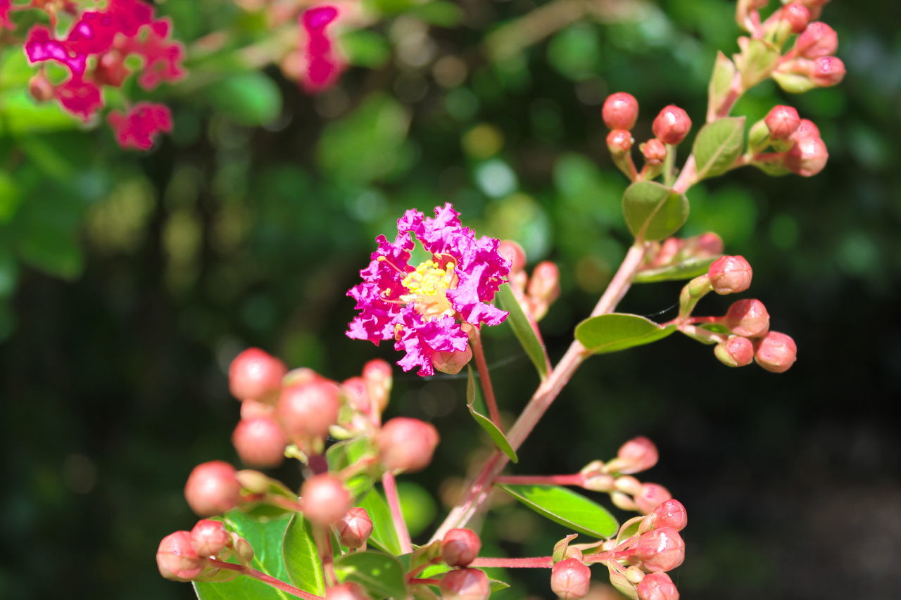 flower, growth, plant, nature, beauty in nature, fragility, pink color, focus on foreground, outdoors, no people, freshness, day, petal, close-up, blooming, flower head, lantana camara