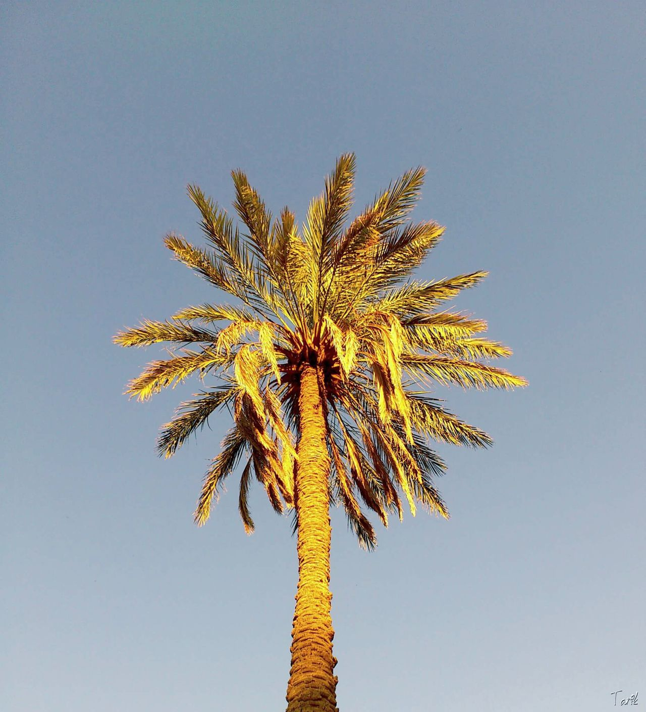 Low Angle View Sky Tree Palm Tree No People Outdoors Day Nature Summer Beauty In Nature Morocco Colors Tranquility Oneplus2 Sun Dates Datesfruits Figuig