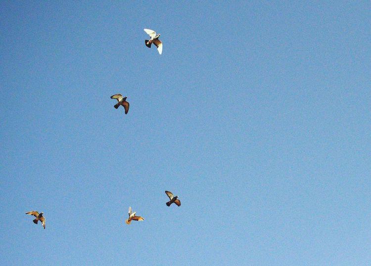 Birds Oujda Morocco Sky Blue Sky Nature Freedom Flying