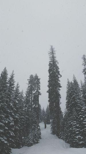 S N O W D R E A M S Trees Snow Nature