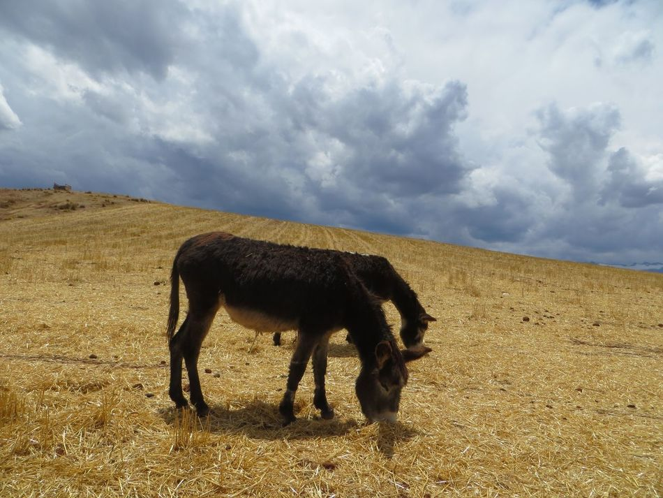 Beautiful stock photos of donkey, Agriculture, Animal Themes, Cloud Sky, Day