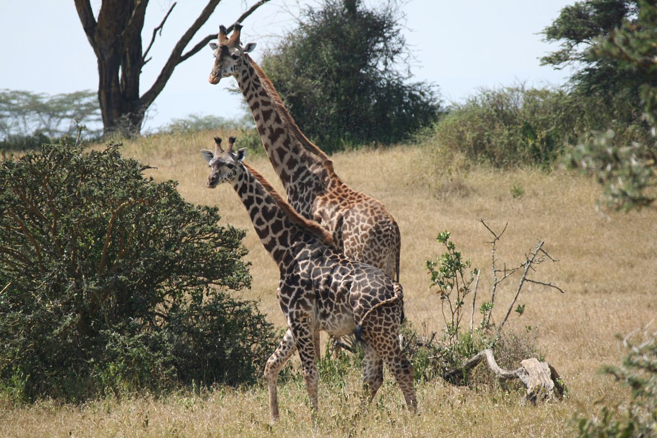 Tree Animals In The Wild Nature Giraffe Animal Wildlife Animal Themes Mammal Grass Safari Animals Growth Outdoors No People Day Beauty In Nature Giraffe Africa Safari Serengeti National Park Tanzania Beautiful Animal Markings Feline