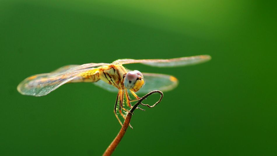 A Beautiful Dragonfly EyeEm Best Shots EyeEmBestPics EyeEm Nature Lover Dragonfly Day Helicoper EyeEm Gallery Green Color Wings Bright Wing animal wing Dragonfly_of_the_day Dragonfly💛 Animal Themes Micro Photography Micro Beauty