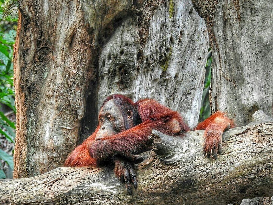 Orangutan Orangutans Save Orangutan EyeEm Best Shots - NaturePrimate Eye4photography  Eyeemphotography EyeEm Best Shots EyeEmBestPics Singapore Zoo