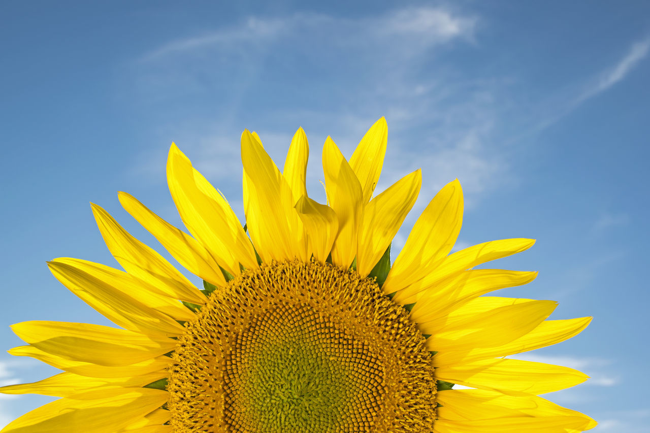 Beautiful stock photos of sunflower, Beauty In Nature, Camillus, Close-Up, Day