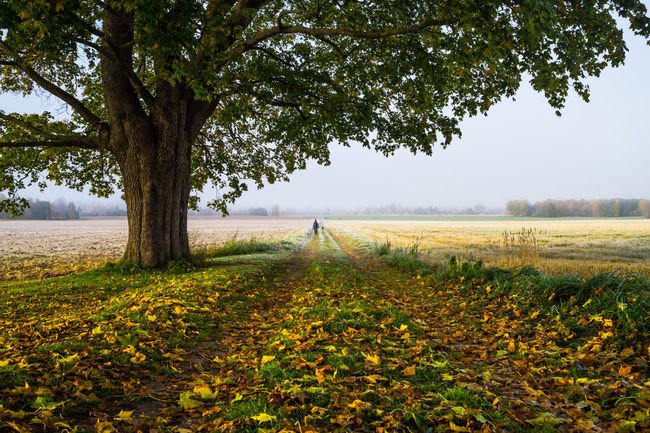 Autumn in Dalarna, Sweden Autumn Countryside Dalarna Day Distant Dog Europe Field Green Color Leaf Leaves Nature Non-urban Scene Northern Europe Oak Outdoors Person Remote Scandinavia September Sweden Tranquil Scene Tranquility Tree Walk
