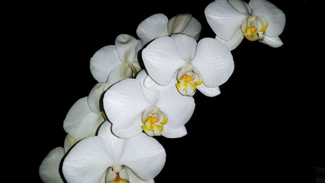 Orchids Orchids Collection Flowers_collection Flowers White Flowers White Orchids Orchid Blossoms