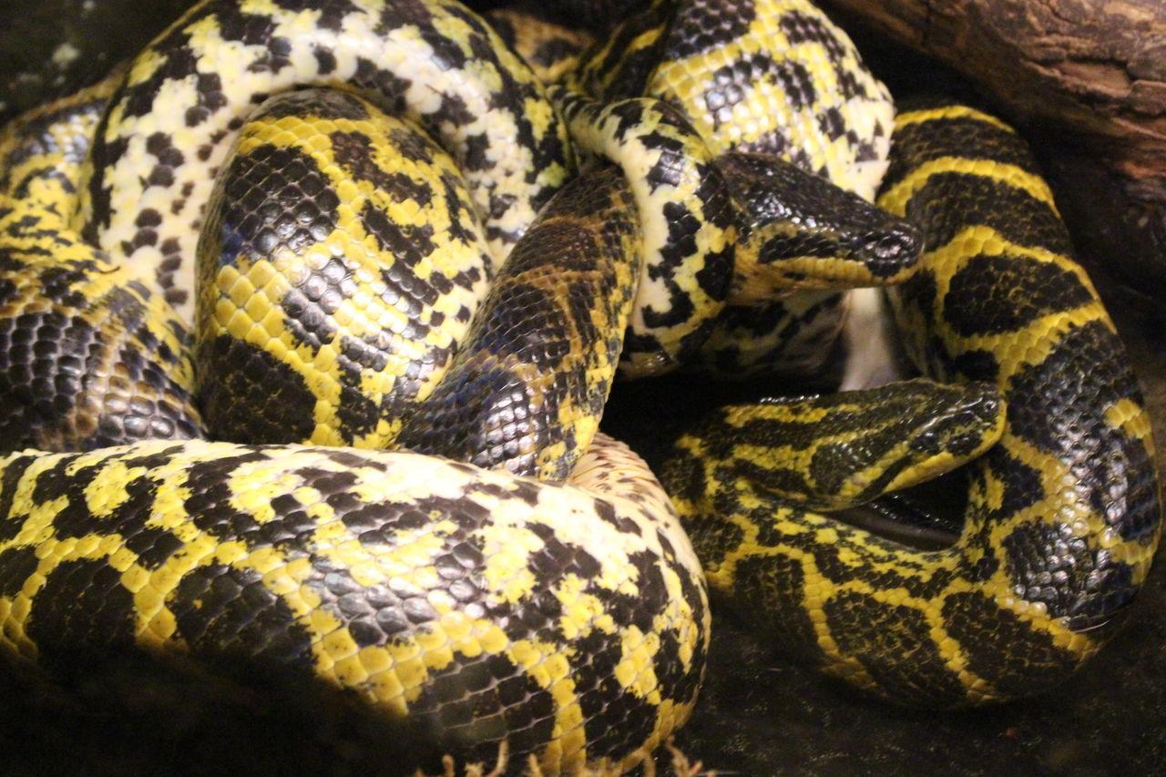 Animal Scale Animal Themes Close-up Diffrentcouple EyeEm Nature Lover Eyeemzoo Nature Patterns In Nature Reptile Snake Tangled Yellowandblack Zoo