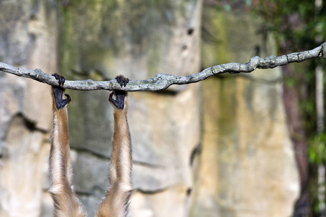 Abhängen Affe Animal Animals In The Wild Ape Arm Bisschen Abhängen Brave Climbing Cool Entspannen Focus On Foreground Hanging Around Hängen LianeV Monkey Mutig. No People One Animal Tiere Tiergarten Wildlife Wildlife & Nature Zoo Animals
