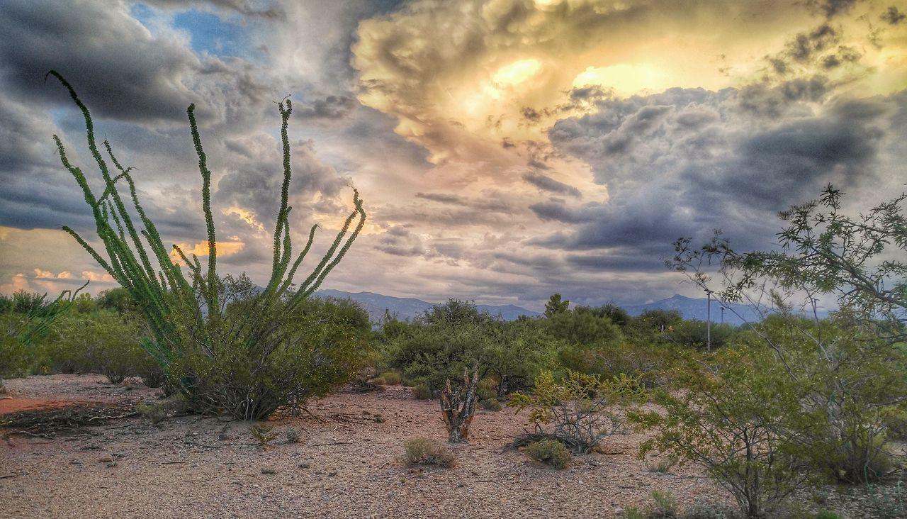 Cactus Ocotillo Cactus Arizona Sunsets Arizona Sky Arizona Landscape Monsoon Cloud - Sky Beauty In Nature Stormy Skies Landscape First Eyeem Photo EyeEmNewHere