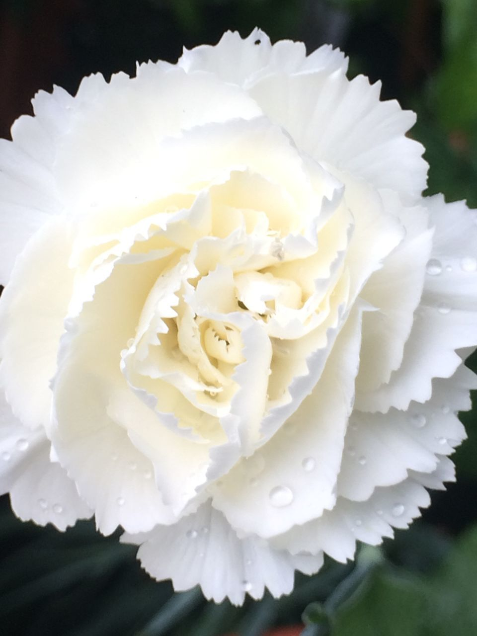flower, white color, petal, beauty in nature, nature, flower head, close-up, no people, freshness, focus on foreground, day, fragility, plant, growth, outdoors, blooming, water