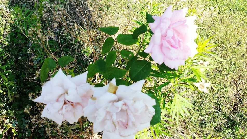 Pink Color Flower Nature Flower Head No People Fragility Petal Day Outdoors Beauty In Nature Garden Photography Beauty In Nature Nature Ascona, Ticino, Switzerland Rose🌹 Rose Collection Rose - Flower