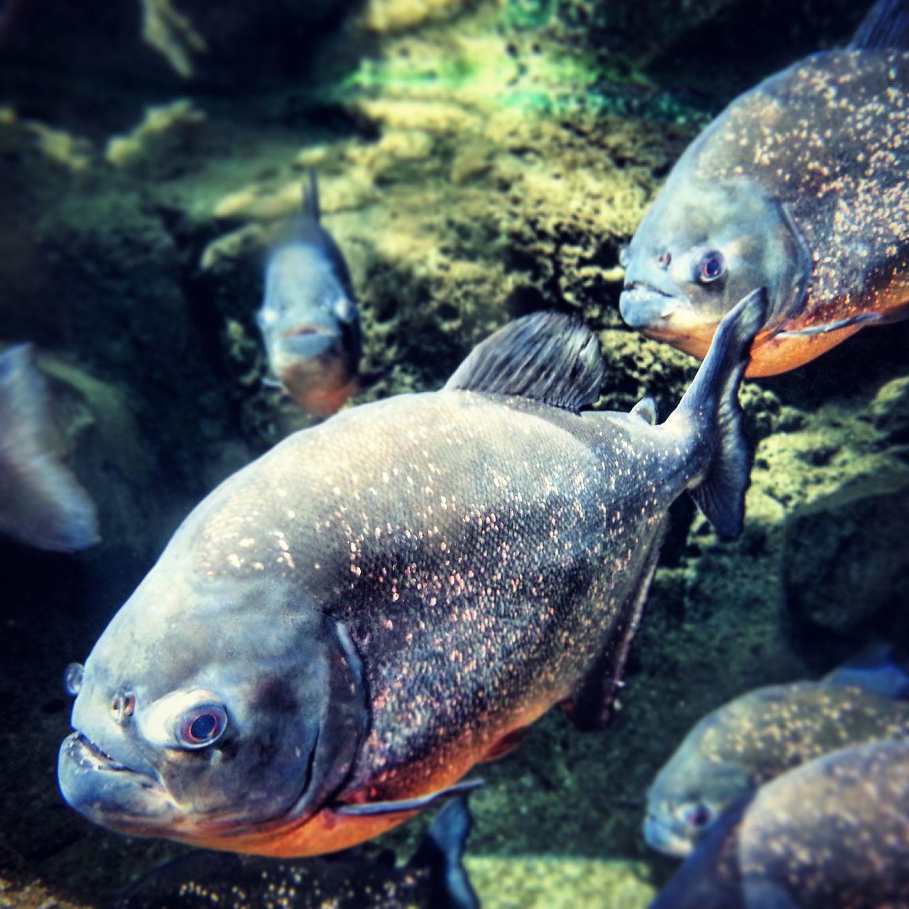 Piranhas Piranha Fish