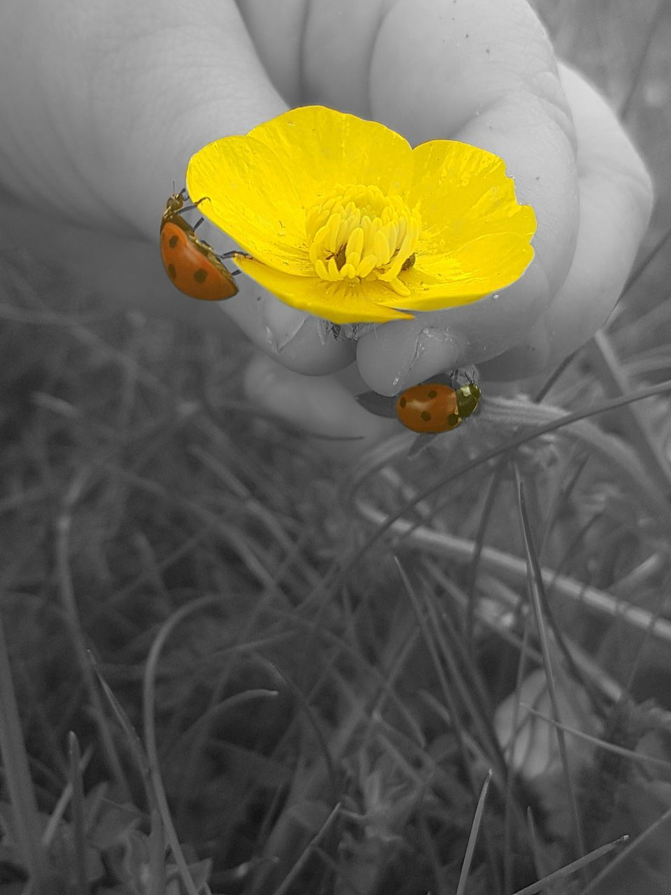 flower, yellow, petal, fragility, one person, beauty in nature, nature, flower head, human hand, freshness, close-up, human body part, high angle view, outdoors, real people, plant, growth, day, people
