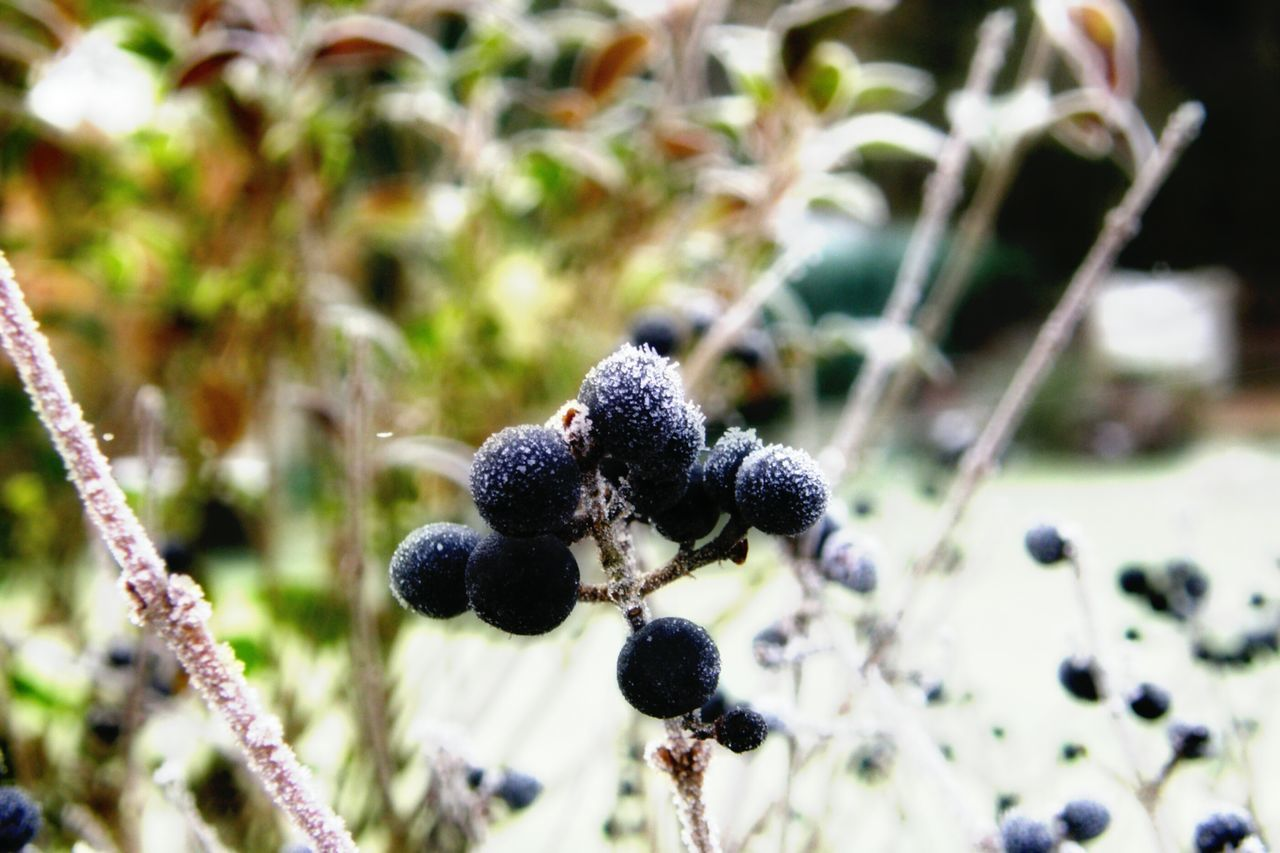 Berrys Frozen Winter Nature Outdoor Photography No People