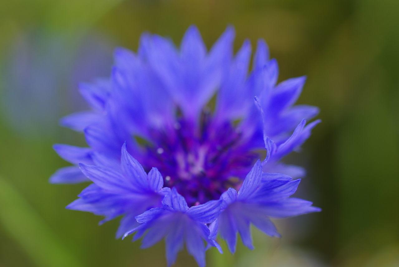 blue Beauty In Nature Blooming Blue Close-up Day Flower Flower Head Freshness Growth Kornblume Kornblumenblau Nature No People Outdoors Petal Plant EyeEmNewHere