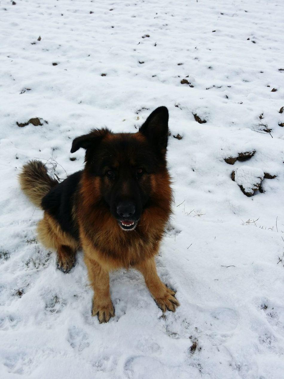 Beautiful stock photos of german shepherd,  Animal Themes,  Cold Temperature,  Day,  Dog